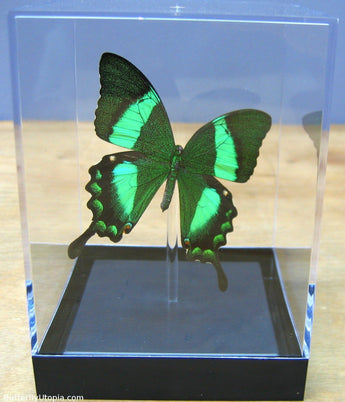 Real Butterflies in Tabletop Displays