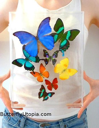 Real Butterflies in Acrylic Frames