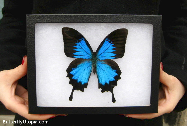 papilio ulysses blue mountain swallowtail butterfly pictures