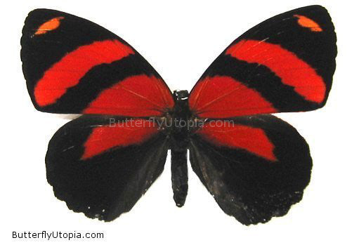 Callicore cynosura cynosaura red butterfly photos, pictures,