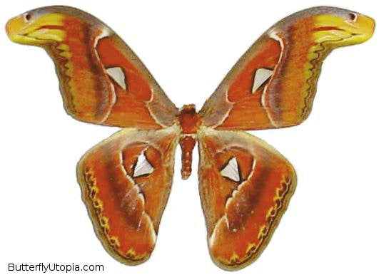 Giant Attacus Atlas Moth