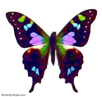 Graphium weiskei, Purple-Spotted Swallowtail