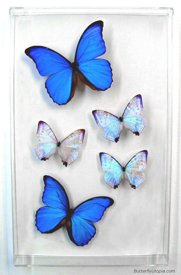 Blue Pearls II, Big blue morpho butterfly, framed art, pictures ...