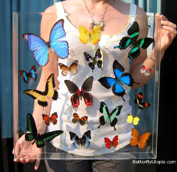Tropical Butterflies Paradise framed art, pictures, display,