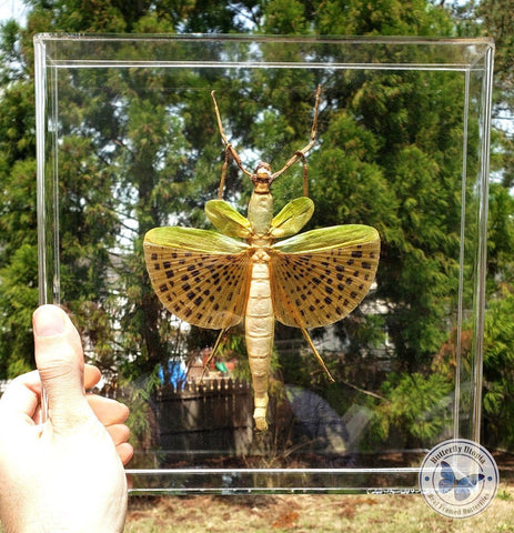 Special Flying Walking Stick #3 - 10x10 Acrylic Frame
