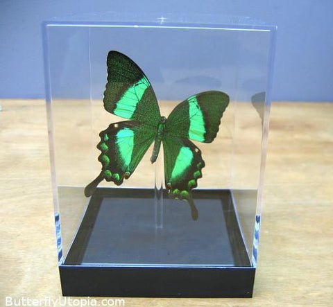peacock swallowtail papilio palinurus tabletop display
