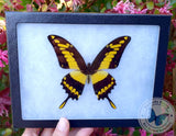 framed papilio thoas yellow butterfly