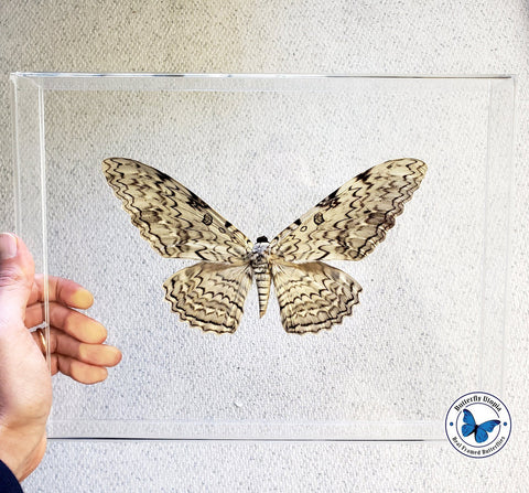 framed white witch moth