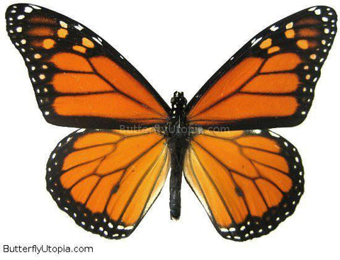 Monarch Butterfly - unspread (wings closed)