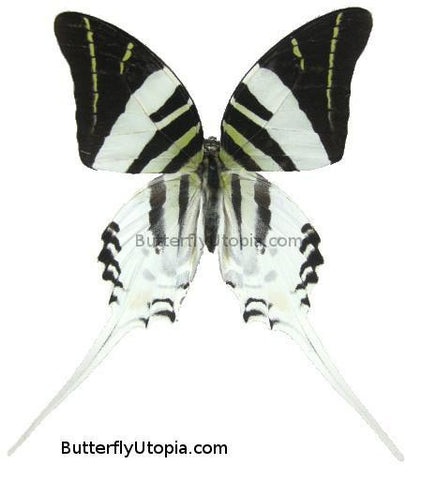graphium androcles butterfly