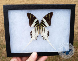 framed graphium androcles