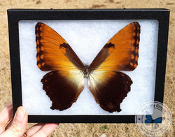 framed sunset morpho hecuba