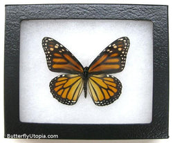 dark monarch butterfly bargain quality