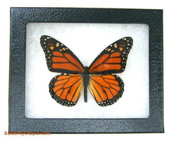 monarch danaus plexippus butterfly bargain quality