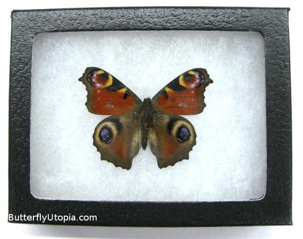 peacock butterfly bargain quality
