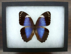 rare violet morpho butterfly bargain quality