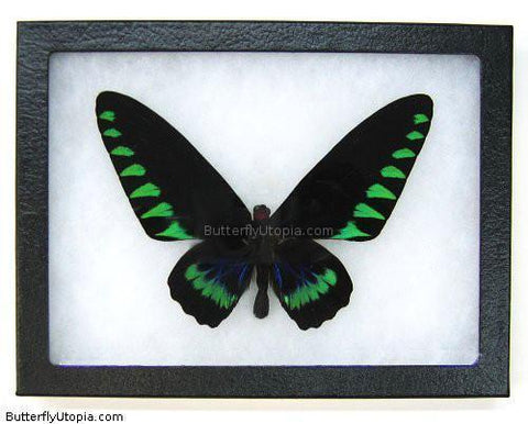 Triangle Birdwing Butterfly