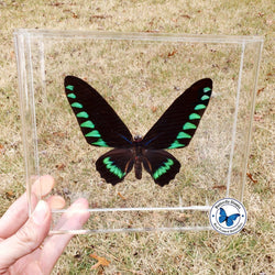 framed trojana birdwing butterfly
