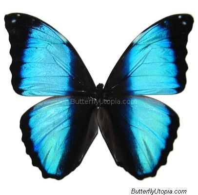 Giant Striped Morpho Butterfly