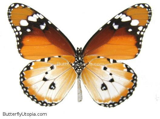 Danaus chrysippus - unspread (wings closed)