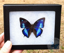Framed Anaea cyanea blue butterfly