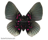 Pink Dotted Appollonia Butterfly