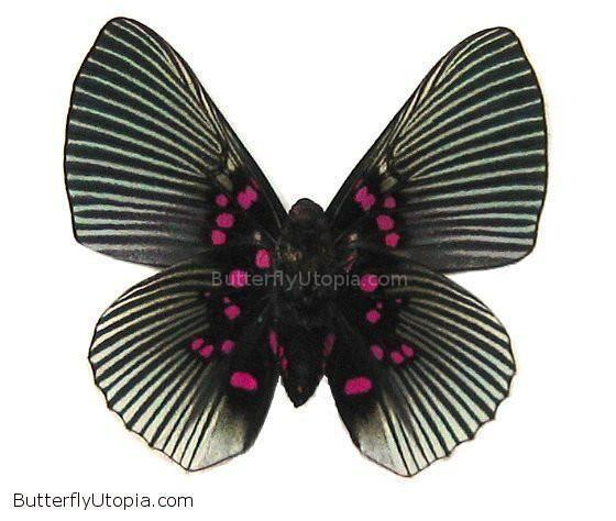 Pink Lyropteryx Apollonia Butterfly