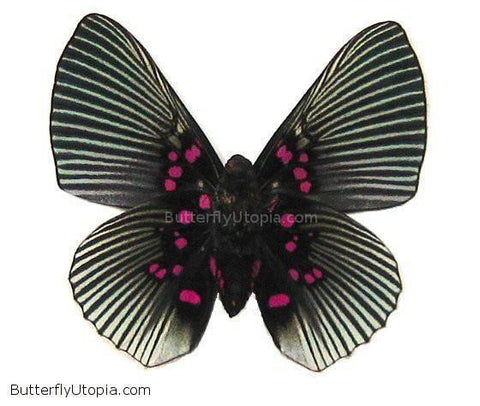 pink dotted butterfly