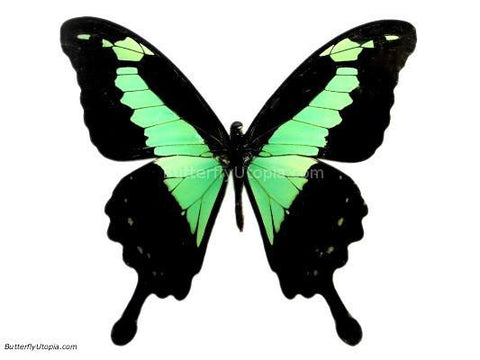 Green Congo Swallowtail Butterfly