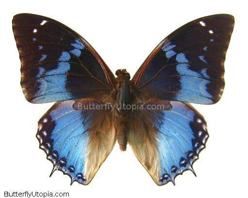 African Bluewing Butterfly