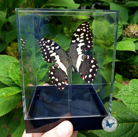 framed citrus swallowtail