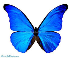 Blue Morpho Rhetenor Butterfly