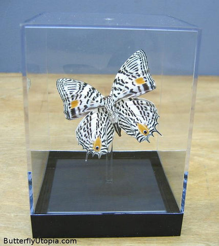 Clown Butterfly (Underside) - 3D Tabletop Display