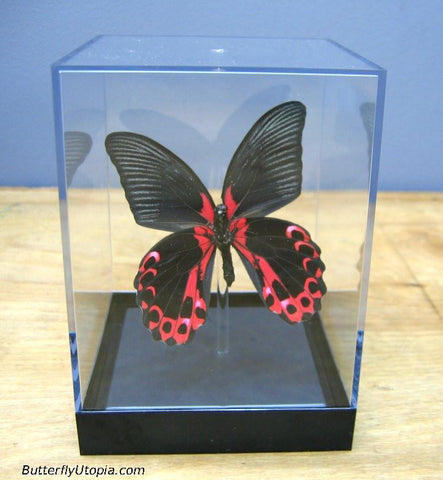 Red Papilio rumanzovia Butterfly