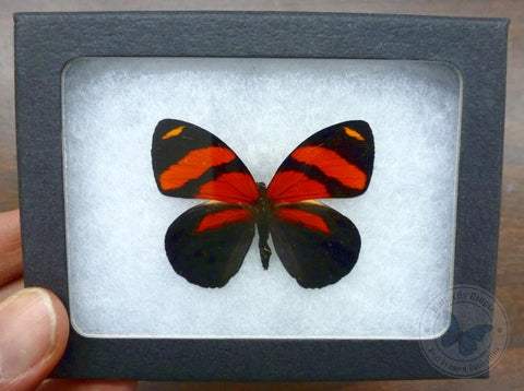 callicore cynosura red butterfly