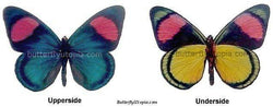 Two Pastel Papillion Butterfly Upperside Underside