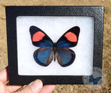 blue pink framed butterfly