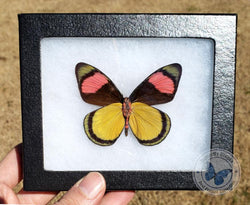 yellow pink butterfly
