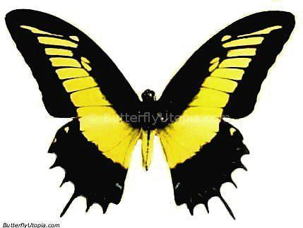 Papilio Androgeus Butterfly