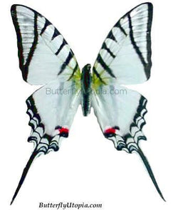Zebra Eurytides Protesilaus Butterfly