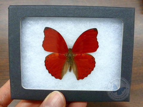 framed red butterfly