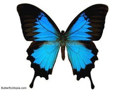 Blue Papilio Ulysses Butterfly