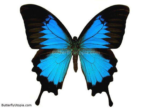 Papilio Ulysses Butterfly