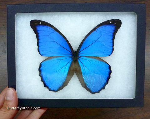 Blue Morpho Didius Butterfly