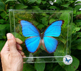 Framed Blue Morpho