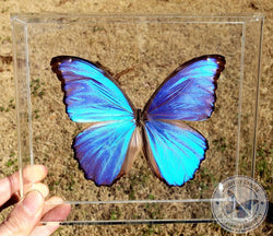 framed big blue morpho butterfly