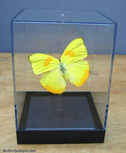 Orange Phoebis Philea Butterfly