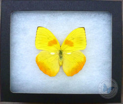 Framed Yellow Phoebis Butterfly