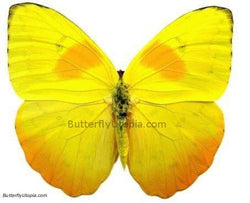 Phoebis Philea Butterfly