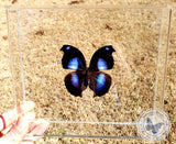 Framed Blue Hookwing Butterfly